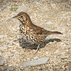 Thrush on ground