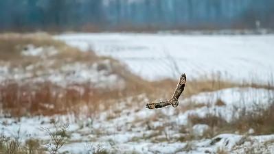 SE owl turning in fflight ISO 32000  5552-