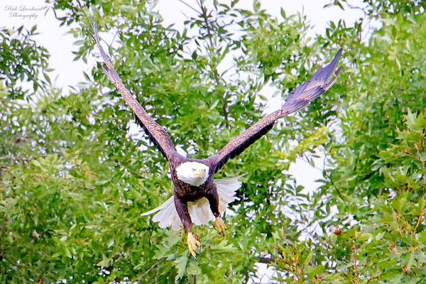 Bald Eagle takes off !!  On Long Island , NY.   10-05-18