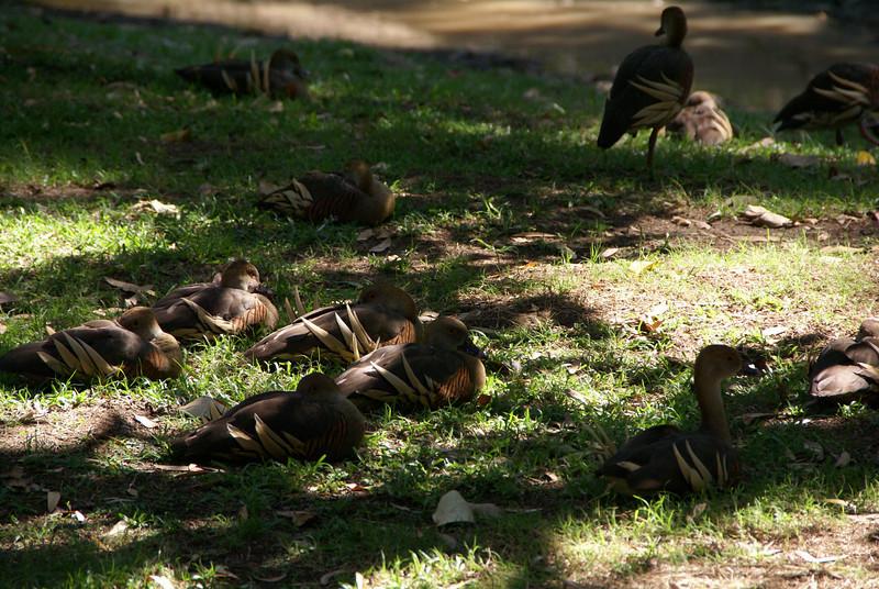 Plumed Whistling Ducks (Dendrocygna eytoni)