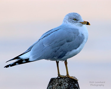 Ring Billed Gull at St. Johns Church in Cold Spring Harbor, NY.