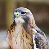 Red Tailed Hawk was at ease today
