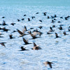 The flight of the cormorant