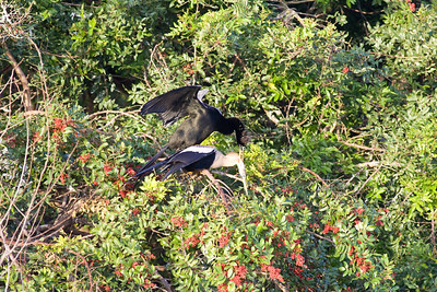 Female Anhinga held still by the male