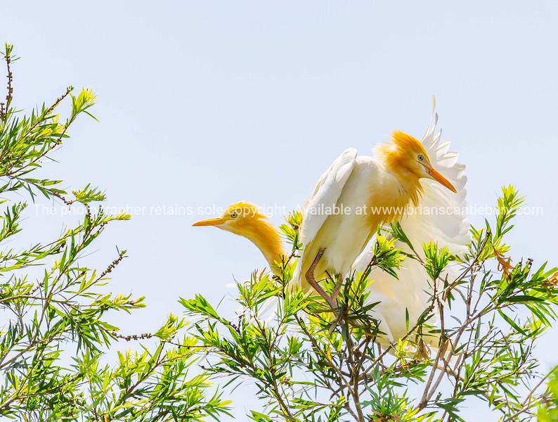 Cattle egret in breeding coloration in tree.
