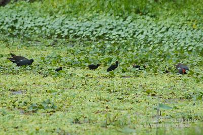 Common Gallinules