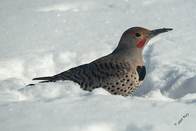 Flicker in Snow
