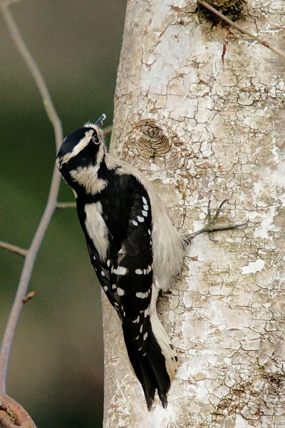 Female Downy Woodpecker<br /> <br /> At Richmond Nature Park; hand held.