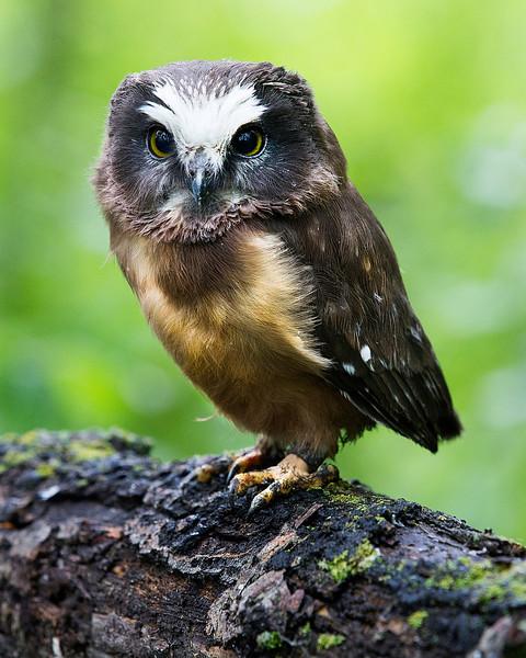 Saw Whet Owlet