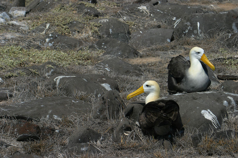 Waved Albatross (<i>Phoebastria irrorata</i>) Galapagos Islands National Park