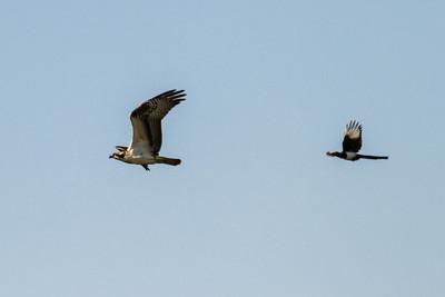 osprey chased