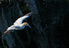 The Gannets sail into the nest site and somehow know just where to land.