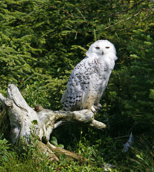 A snow owl being rehabilitated