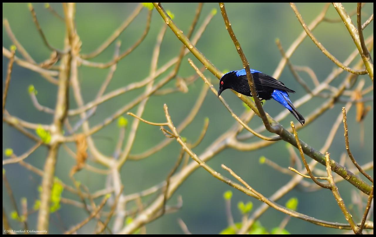 Asian fairy blue bird......