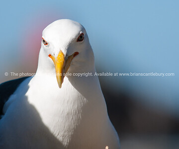 Blackback Gull, close-up.
