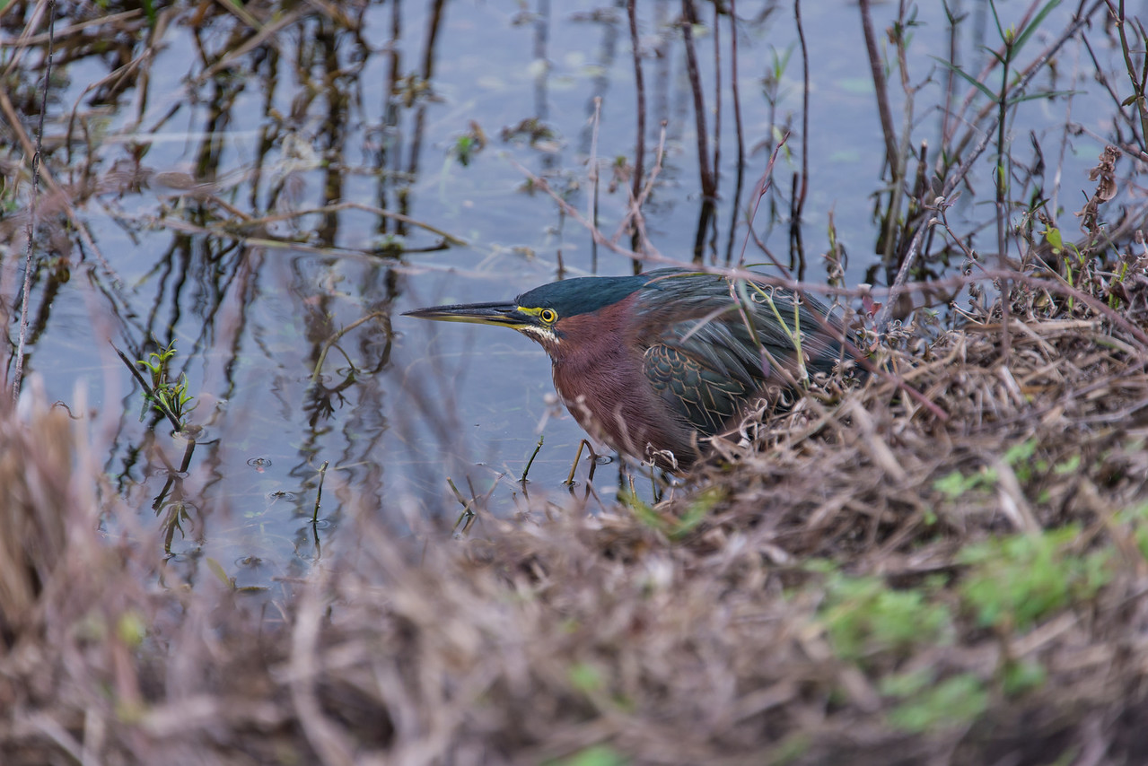 Green Heron, Everglades National Park, Florida - December 2013