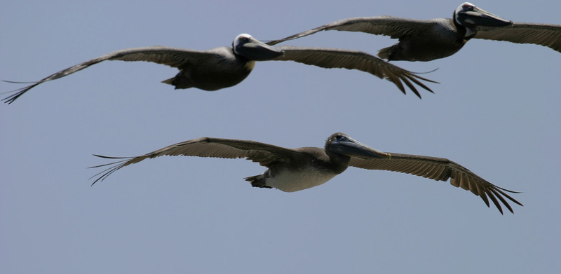 Three pelicans soaring by overhead as they flew along the beach looking for prey.