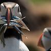 Skoma Island, Wales.  D800 / Nikon 500mm