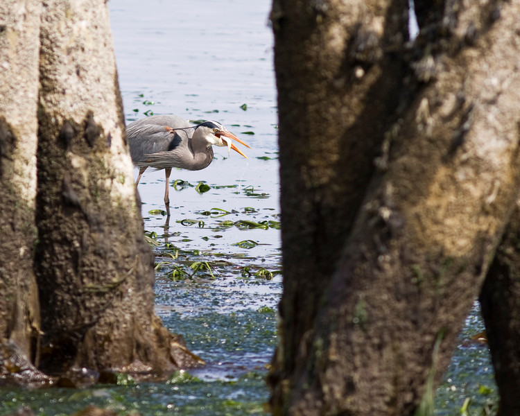 A great blue heron (ardeas herodias) with a fish in its beak. Just after catching it, the bird was letting the water drain from its mouth before swallowing its meal.