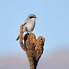 Loggehead Shrike.<br /> Gila, NM