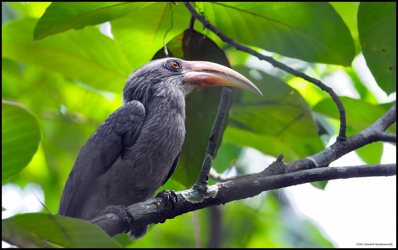 What eye lashes..!....Malabar Grey Hornbill....