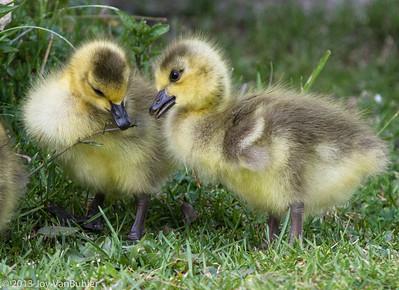 112/365 - Goslings