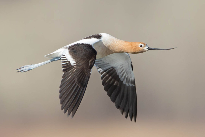 American Avocet,male in flight.