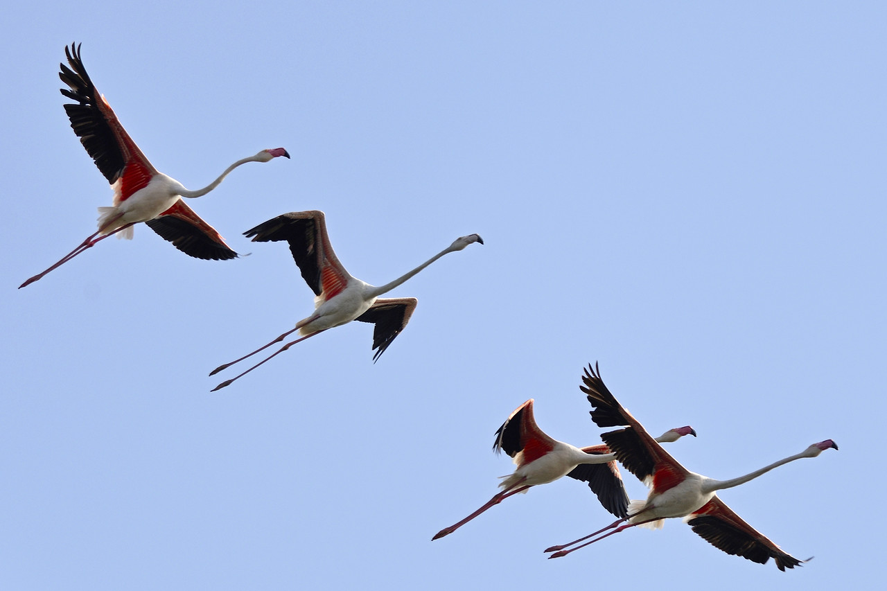 Greater Flamingoes...