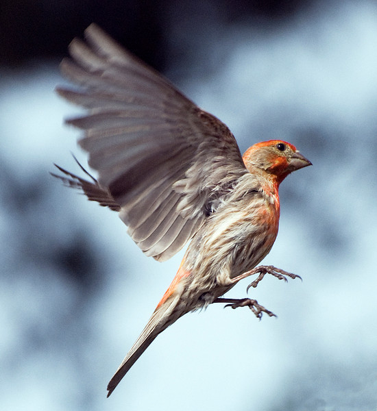 Finch in flight 2: House Finch, male. He has a gutter-clogging nest right in our carport. These finches are related to canaries, hence their long winded very musical chirpy song.