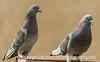 Rock Doves