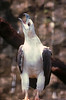 Phillipine Sea Eagle  almost extinct this one was in the Jaraong Bird Park in Singapore