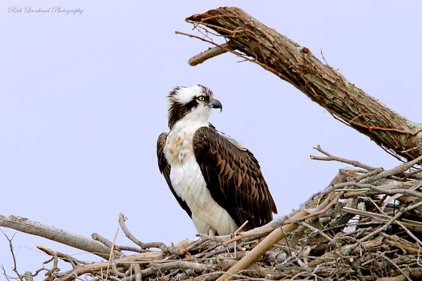 Osprey at The Oceanside Nature Marine Study Area.