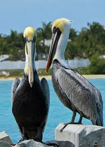 Pelican in the Florida Keys