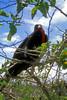 Magnificent Frigate Bird -Galapagos