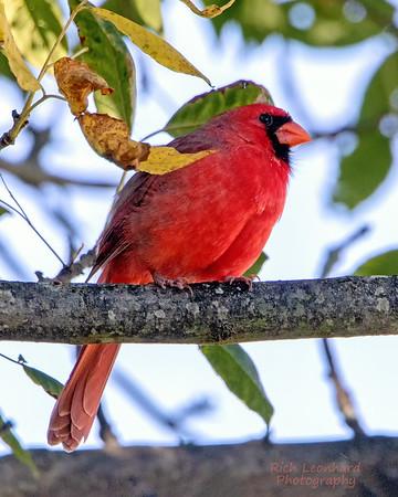 Beautiful Male Cardinal at The Oceanside Marine Nature Study Area.
