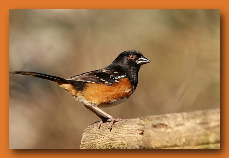Rufous-sided Towhee at Richmond Nature Park.  With Sigma 50-500 (Bigma).