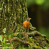 May 9, A robin in the rain looking for that early worm!
