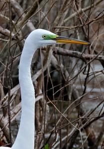 Great Egret, breeding adult - Ardea alba.