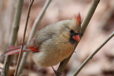A female Northern Cardinal perched on a branch