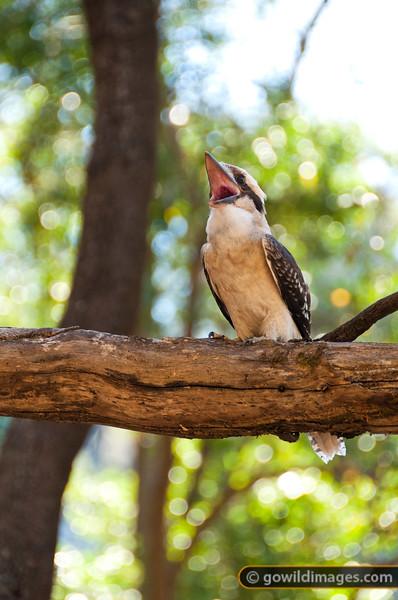 Kookaburra Laughing