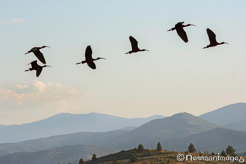 Glossy Ibis Flock