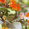 "Olive-backed Sunbird ""Oman"""