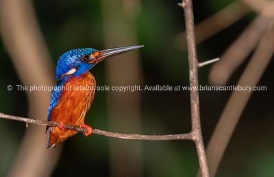Blue-eared kingfisher