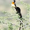 Long tailed paradise whydah