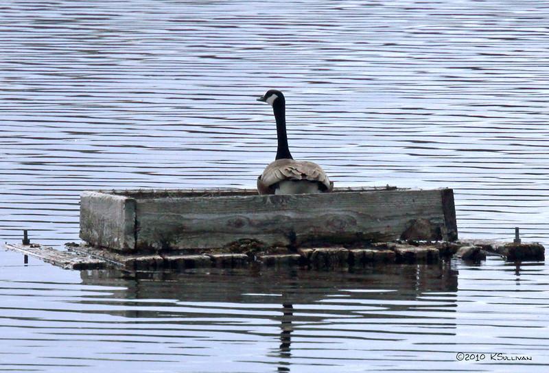 Canada Goose in Hatching Box - Dawson Creek, BC