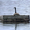 Canada Goose in Hatching Box - Dawson Creek, BC