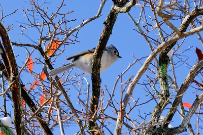 Tufted Titmouse - Baeolophus bicolor.