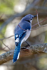 Blue Jay, Cyanocitta cristata.