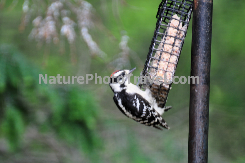 Downy Woodpecker. The active little Downy Woodpecker is a familiar sight at backyard feeders and in parks and woodlots, where it joins flocks of chickadees and nuthatches, barely outsizing them. An often acrobatic forager, this black-and-white woodpecker is at home on tiny branches or balancing on slender plant galls, sycamore seed balls, and suet feeders. Downies and their larger lookalike, the Hairy Woodpecker, are one of the first identification challenges that beginning bird watchers master.