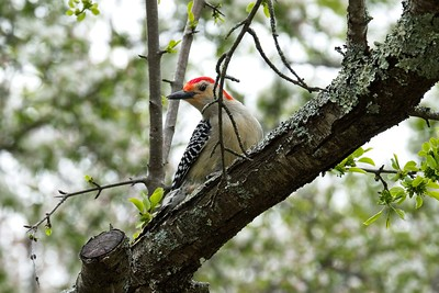 Red Bellied Woodpecker (Melanerpes carolinus) male.